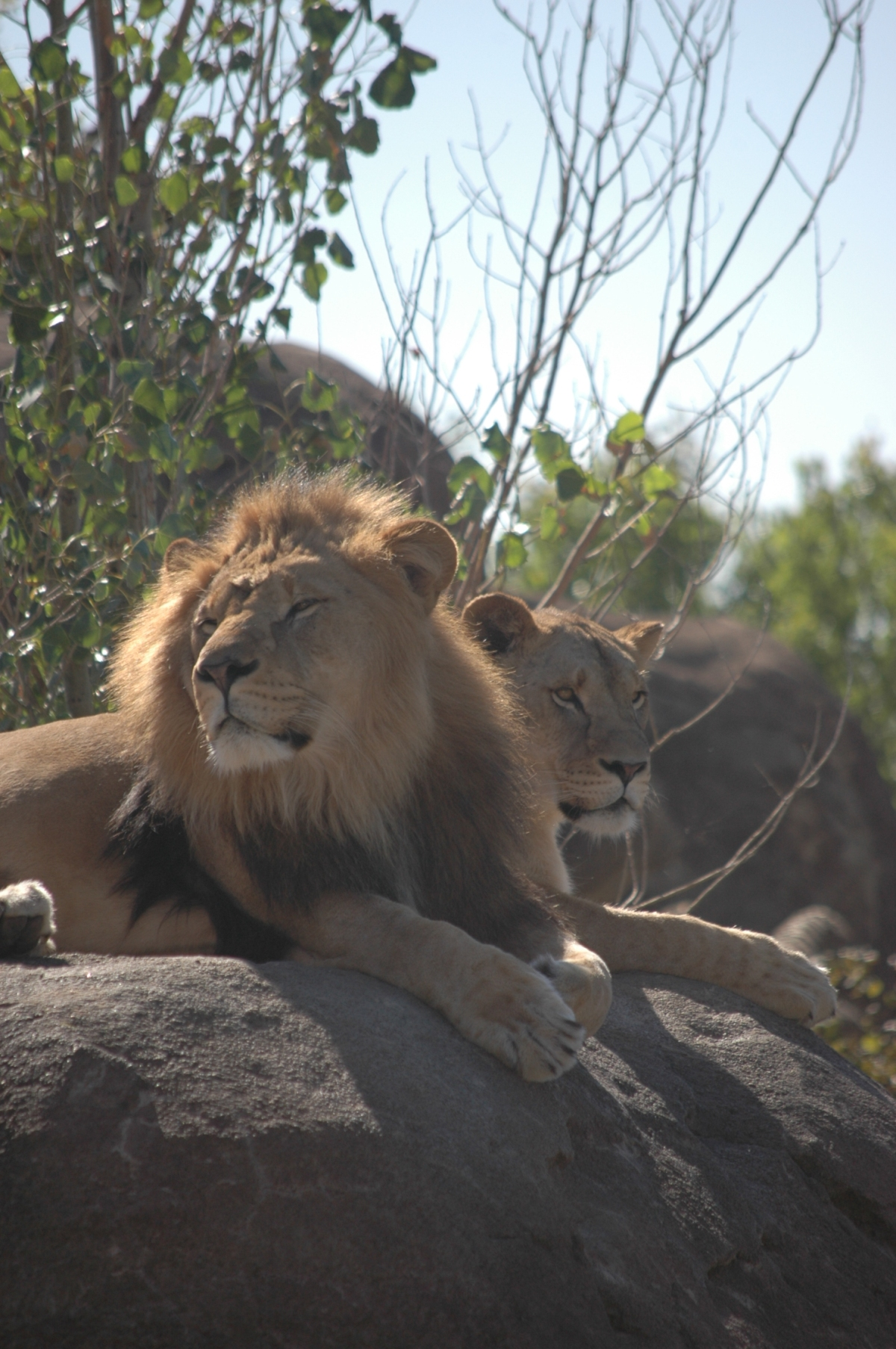 Lions chilling out at Sedgwick County Zoo - Wichita, KS