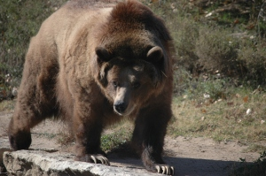 Pacing bear at the Sedgwick County Zoo - Wichita, KS