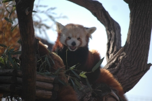 Momma red panda at the Sedgwick County Zoo - Wichita, KS