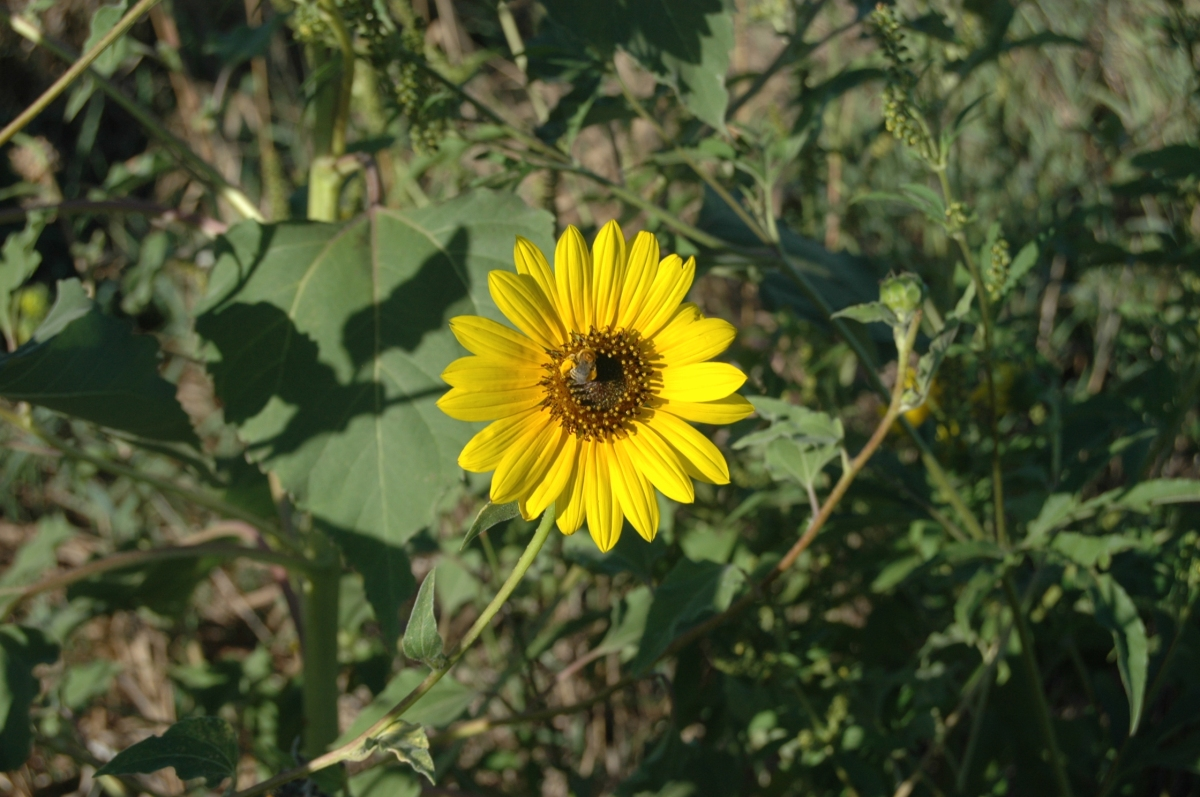 Bee on a sunflower at Safe Haven Farm - Haven, KS