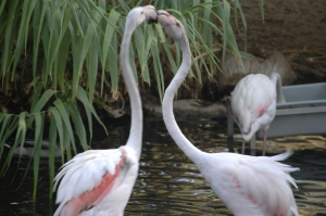 Flamingos fighting at the Sedgwick County Zoo, Wichita, KS