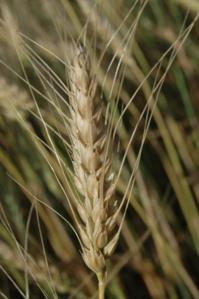 Wheat head close up at Safe Haven Farm, Haven, KS