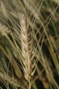 Wheat head close up at Safe Haven Farm, Haven, KS