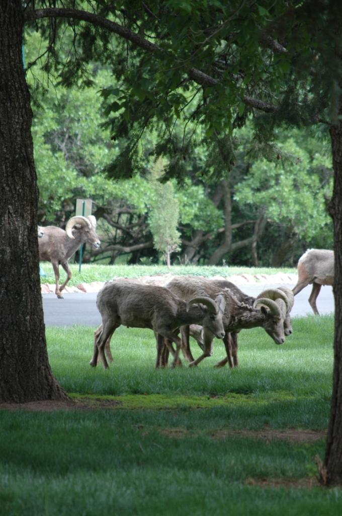 Big horn sheep grazing at Glen Eyrie, Colorado Springs, CO