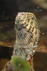 Funky lizard staring me down at the Sedgwick County Zoo, Wichita, KS