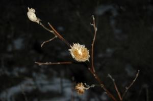 Dead sunflower at Safe Haven Farm, Haven, KS