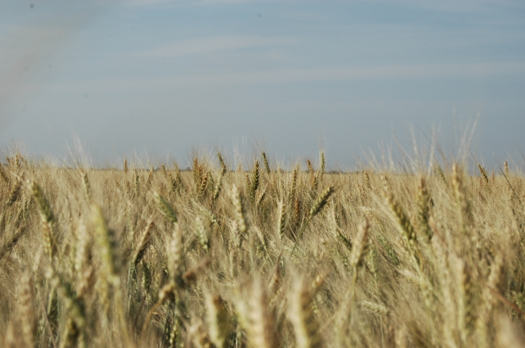 Wheat ready for harvest at Safe Haven Farm, Haven, KS