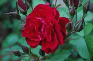 Red, blooming rose in the Rose Garden at Glen Eyrie, Colorado Springs, CO