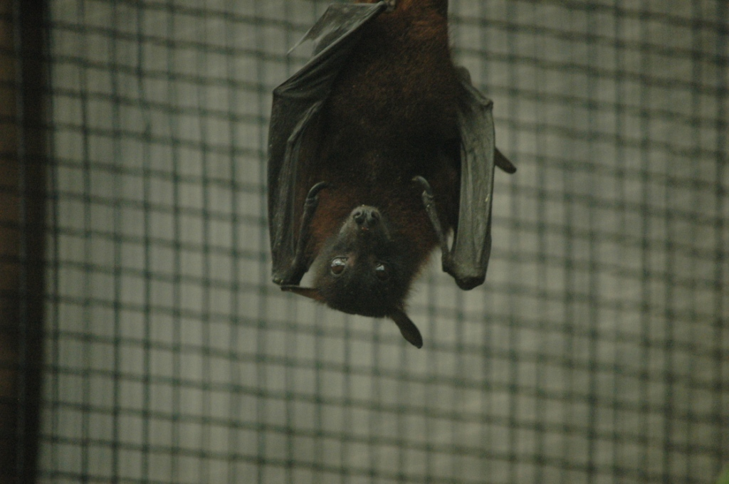 Bat staring me down at the Sedgwick County Zoo, Wichita, KS
