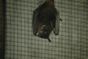 Bat staring me down at the Sedgwick County Zoo, Wichita, KS
