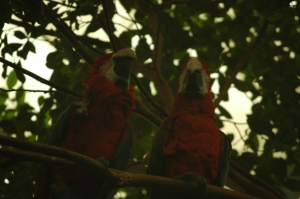 Two scarlet macaws at the Sedgwick County Zoo, Wichita, KS