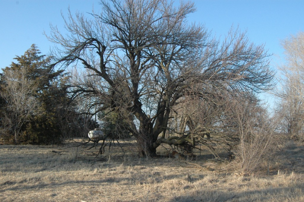 My old apricot tree at Safe Haven Farm, Haven, KS