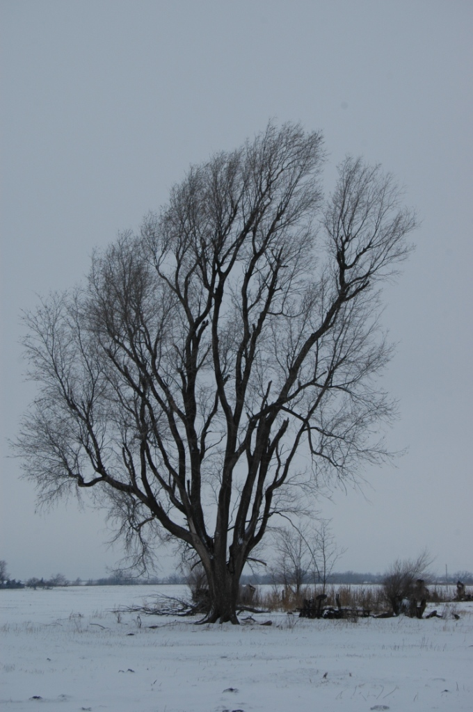 Old elm tree in the snow at Safe Haven Farm, Haven, KS