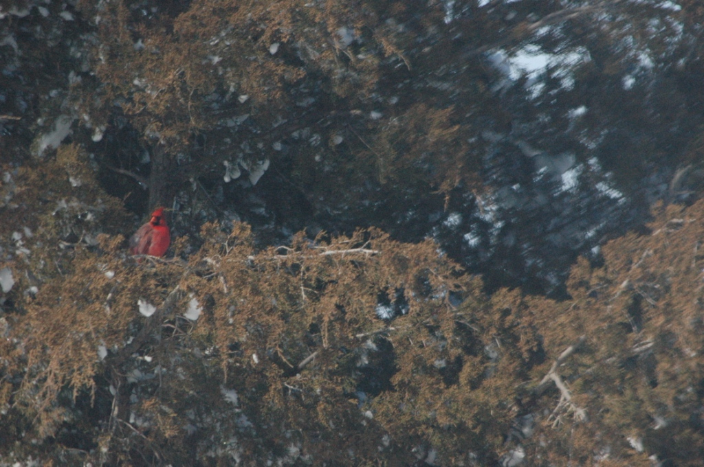 Cardinal in the pines at Safe Haven Farm, Haven, KS