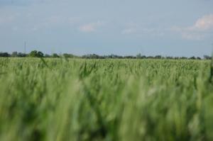 Wheat field at Safe Haven Farm, Haven, KS