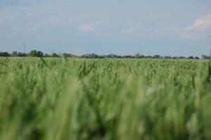 Wheat field at Safe Haven Farm, Haven, KS