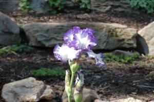 Iris in the sun at Glen Eyrie, Colorado Springs, CO