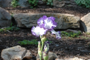 Iris in the sun at Glen Eyrie, Colorado Springs, CO