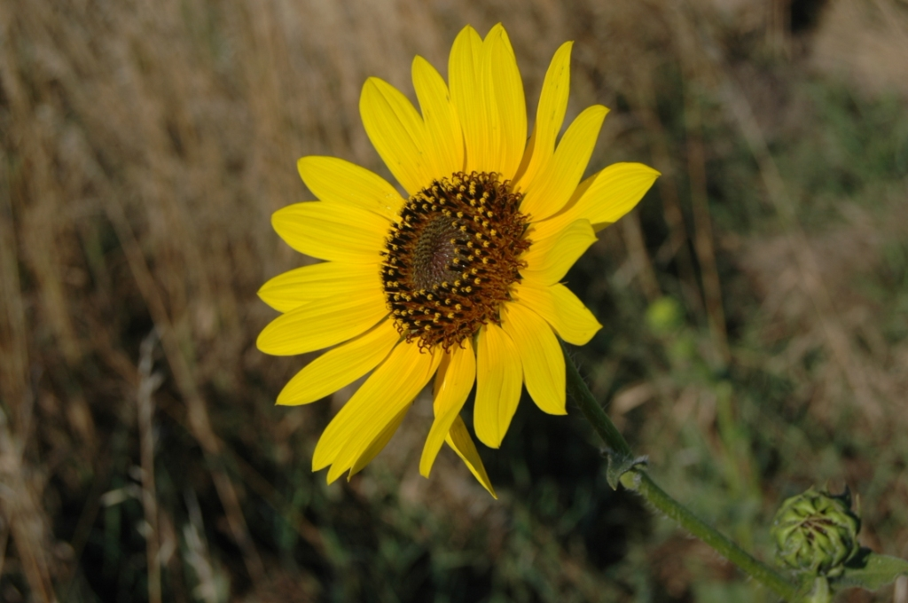 Sunflower at Safe Haven Farm, Haven, KS