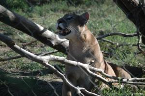 Mountain lion at the Sedgwick County Zoo, Wichita, KS