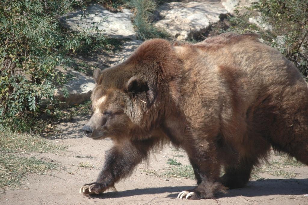 Bear pacing at the Sedgwick County Zoo, Wichita, KS