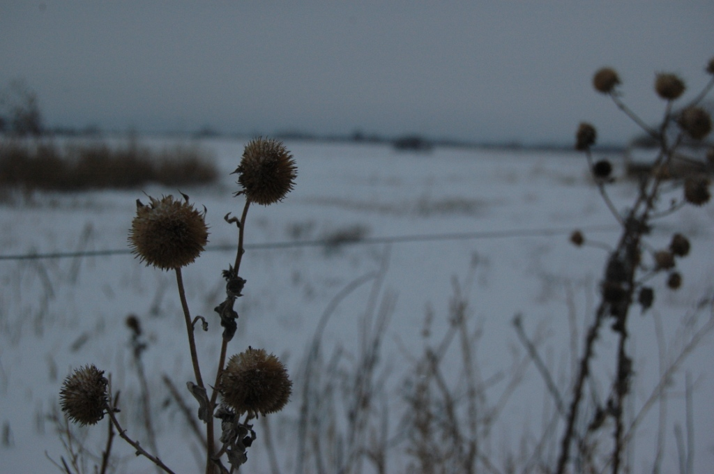 Dead sunflowers in the snow at Safe Haven Farm, Haven, KS