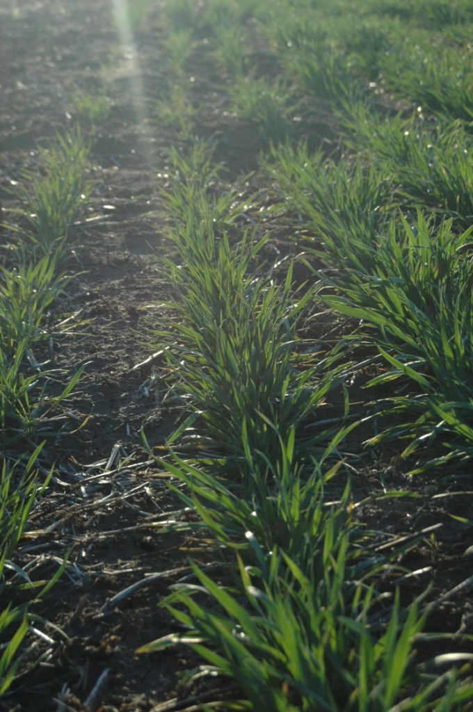 Wheat at Safe Haven Farm, Haven, KS