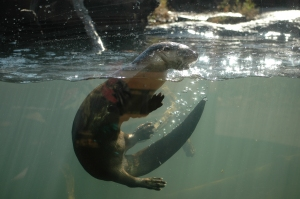 Otter playing in the water at the Sedgwick County Zoo, Wichita, KS