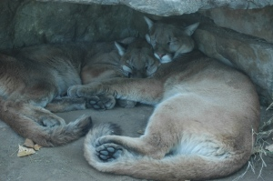 Mountain lions chilling under a ledge at the Sedgwick County Zoo, Wichita, KS