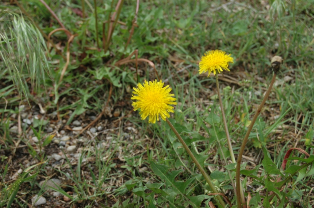 Dandelions in the yard at Safe Haven Farm, Haven, KS