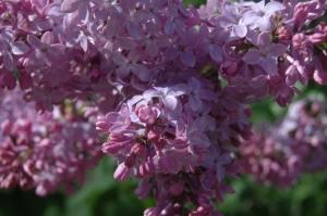 Blossoming lilacs at Safe Haven Farm, Haven, KS