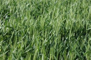 Wheat beginning to ripen at Safe Haven Farm, Haven, KS