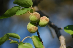 New apricots in the orchard at Safe Haven Farm, Haven, KS