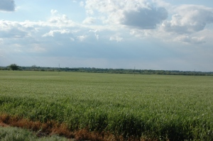 Wheat fields at Safe Haven Farm, Haven, KS