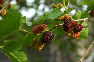 Mulberries rippening on the tree at Safe Haven Farm, Haven, KS