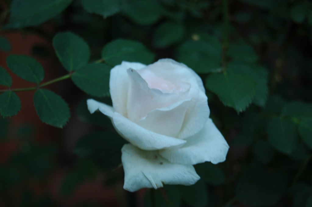 White rose in the Rose Garden at Glen Eyrie, Colorado Springs, CO