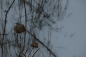 Dead sunflower in a snowy field at Safe Haven Farm, Haven, KS