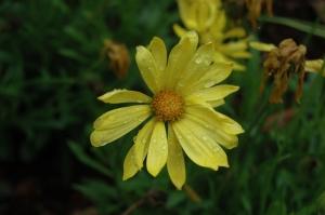 Pretty yellow flower covered in rain drops at the Dallas Arboretum, Dallas, TX