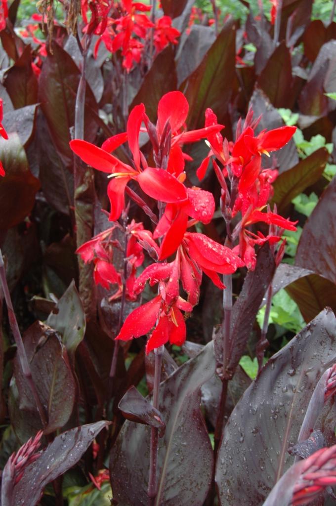 Bright red flowers at the Dallas Arboretum, Dallas, TX