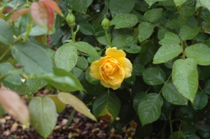 Yellow rose at the Dallas Arboretum, Dallas, TX