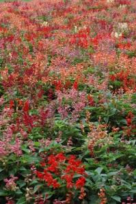 Field of little bright flowers at the Dallas Arboretum, Dallas, TX