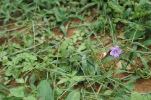 Little purple flower, San Pancho, Peten, Guatemala
