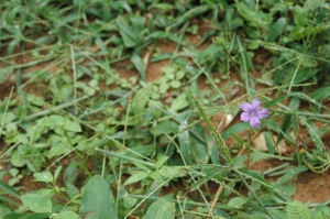 Little purple flower, San Pancho, Peten, Guatemala
