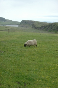 Sheep grazing in pastures along Hadrian's Wall, Northern England