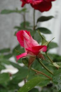 Rose outside Manna House, Bromley, England