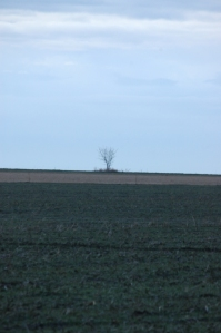 Lonely tree in the southern field behind Safe Haven Farm, Haven, KS