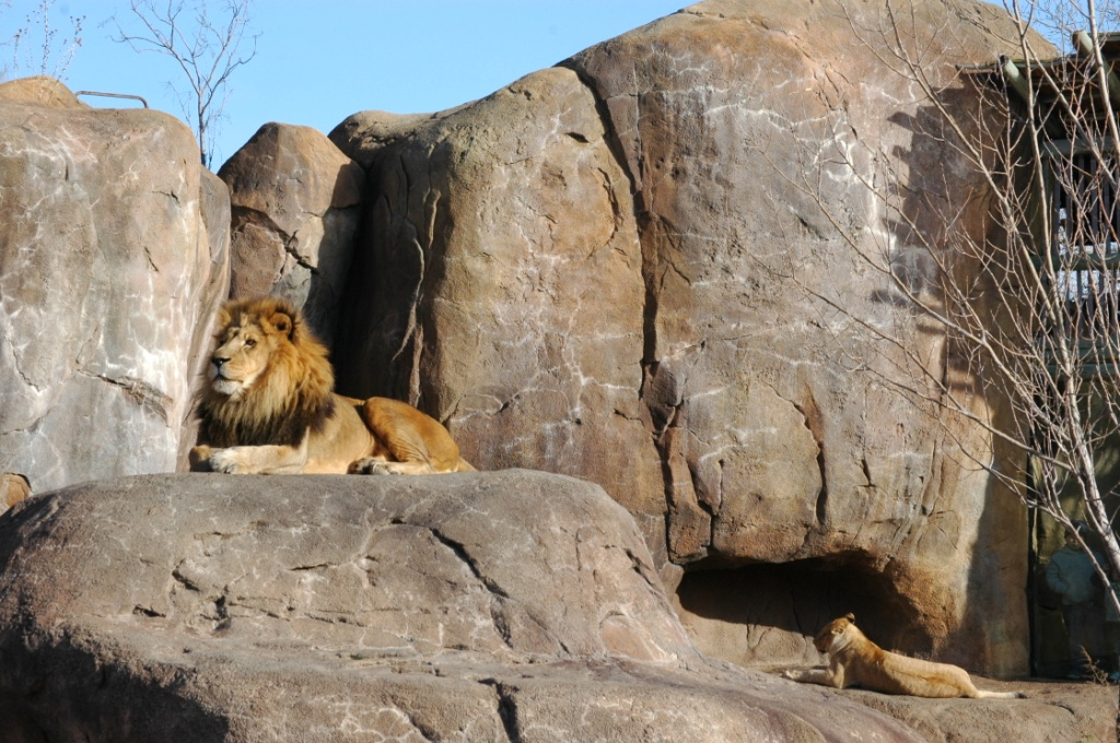 Lions in the sun at the Sedgwick County Zoo, Wichita, KS
