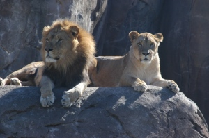 Lions relaxing in the sun at the Sedgwick County Zoo, Wichita, KS