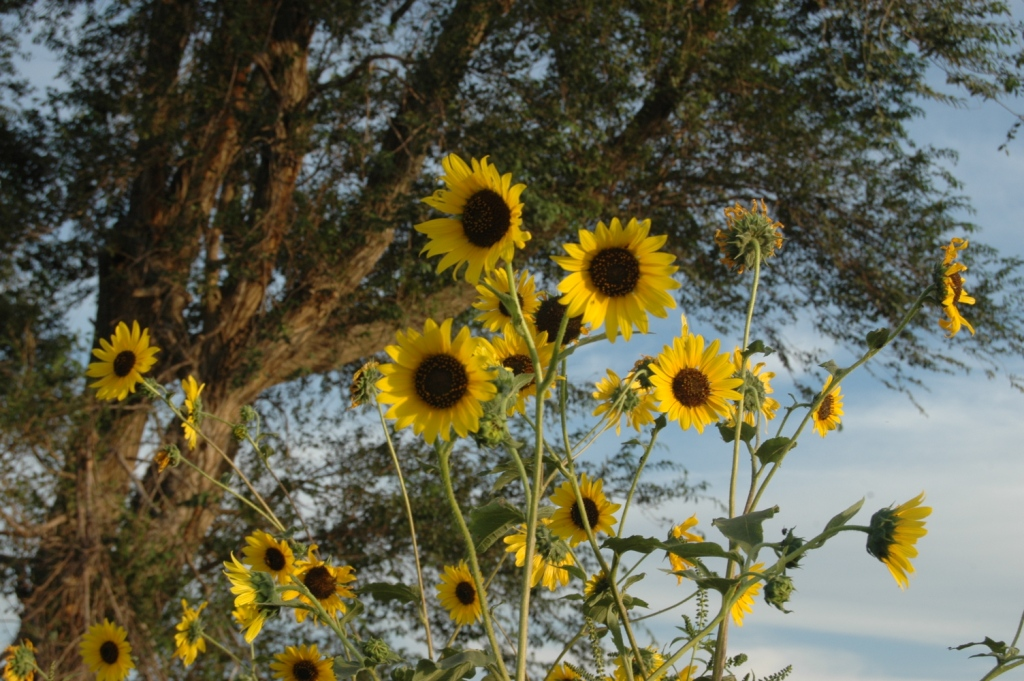 Sunflowers in bloom at Safe Haven Farm, Haven, KS