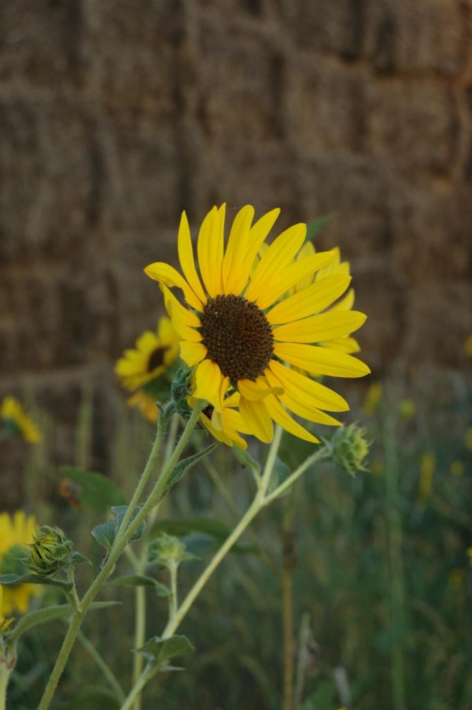 Sunflower facing west at Safe Haven Farm, Haven, KS